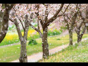 sakura-thumbnail2